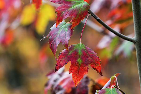 The Color of Maples by Robert Potts